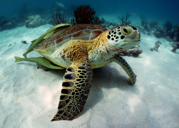 sea-turtle-Akumal-Bay-630x449