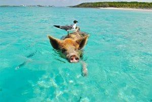 Pourquoi est-il possible de nager avec des cochons aux Bahamas?